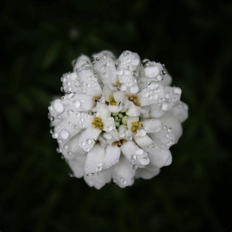 Free Images : nature, branch, blossom, dew, white, flower